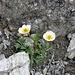 <b>Ranuncolo glaciale (Ranunculus glacialis).</b>