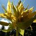 Blüte Gelber Enzian ... dessen Wurzelsproß dem Enzian-Schnaps den Namen gibt