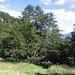 Enormi larici nei pressi dell'Alpe Arami.