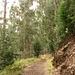 Weg durch Eukalyptuswälder