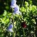 bärtige Glockenblume und Männertreu