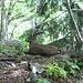 Steinbock beim Abstieg