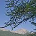 Ankunft bei Bidis vermeintlicher Tanne - geschmückt mit Lärchenzäpfchen