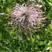 Viele Blumen im steilen Aufstieg nach Cry d'Er. Schopf einer Anemone.....