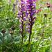.....und viele Orchideen (Dactylorhiza conopsea)