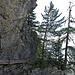 Eindrücklich, wie sich die Lärchen seit Jahrzehnten an den Fels klammern