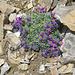 Ein Alpenlein-Pölsterli