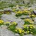 Werk der Natur: Alpenblumengarten im Geröll.