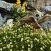 Blumenpracht mit Nelkenwurz