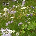 Blumenwiese unterhalb Alp Grüm