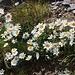 Pizzo dell'Uomo (2662,9m):<br /><br />Die Alpenmargerite (Leucanthemopsis alpina) wächst direkt auf dem Gipfel !
