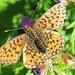 Schmetterling - ziemlich zerfranst, was der wohl mitgemacht hat?