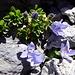 eine Freude, die Mont-Cenis-Glockenblume zu finden
