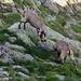 Rangkämpfe unter jungen Alpensteinböcken (Capra ibex). Die schönen Tiere kommen jeden Abend zur Glecksteinhütte wo sie von den Hüttencrew mit Salz angelockt werden.