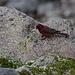 Unbekannter Vogel mit viel Farbe (und tollem Gesang)