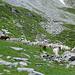 Schafe auf Milligorn