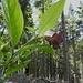 Schwarze Tollkirsche mit Blüte und unreifen Früchten