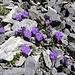 Blumen in Felsritzen - einfach betörend 2