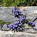 Blumen in Felsritzen - einfach betörend 3