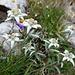 Edelweiss (hier massenhaft)