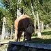 Grasendes Pony in Mocogna.