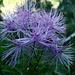 Thalictrum aquilegiifolium (Pigamon à feuilles d'ancolie)