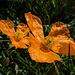 Oranger Klatschmohn