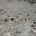 Biwakplatz auf 3400m, belagert von Steinböcken