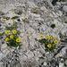 Die Großblütige Gemswurz (Doronicum grandiflorum) - ein kalkliebender Korbblütler