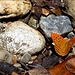 einer von hunderten Schmetterlingen in der Ridomoschlucht