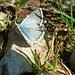Ein grauer Schmetterling; im Detail glänzt seine Innenseite hellblau.