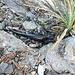 Schwarze Salamander (Rägämore)