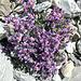 herz-ige Blumenpracht in Mitten der Steinwüste