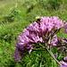 Im Val Maroz: Eine fleissige Hummel labt sich am Blütennektar