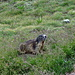 Die Murmeltiere im Val da Cam sind ausgesprochen zutraulich (wohlgemerkt: das Bild ist lediglich mit 5-fach optischem Zoom ohne digitale Vergrösserung aufgenommen!)
