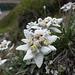 Edelweiss über dem Lägh da Cam II