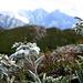 Edelweiss über dem Lägh da Cam und vor der Kulisse von Piz Badile und Piz Cengalo
