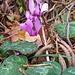Alpenveilchen, cyclamen purpurascens. Hat die Jahreszeit verwechselt, blüht eigentlich im Frühsommer!  Geschützt, Vorkommen hier in den Laubmischwäldern