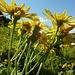 Arnika - die Blüten sind ein altes Heilmittel
