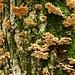 Feuchtes Klima läßt die Baumpilze gut gedeihen