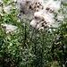 Samen einer Distel werden vom Wind verblasen