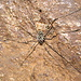 Ragno di montagna