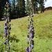 Schöne, große Bleamen mir mal wieder unbekannter Art in der Senke bei der Hochwaldhütte