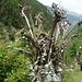 Blumenstrauss aus dem Suldenbach