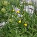 Wilder Schnittlauch als Teil der Bergflora. Noch viel eindrücklicher, wenn man ihn auch riechen kann.