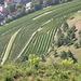 Meersburger Wein (!) gedeiht prächtig