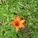 Feuerlilie am Wegrand