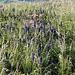 Viele schöne Blumen (auf dem Gipfel)