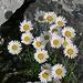 Diese nette Blütenpracht dürften Alpenmargeriten sein (wie ich hier auf hikr lernen durfte).