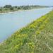 das eisblaue Wasserbett des Rheins wird von einem gelben Blütenteppich gesäumt